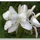 Hawaiian White Ginger  Oil Perfume Rollette 6 mil Sylvan Lane
