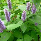 100 seeds Herb Flower Agastache Rugosa - Rare Organic Medicinal
