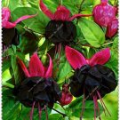 Black Fuchsia  Potted Flowers home garden 100 Seeds