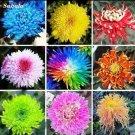 Rainbow Chrysanthemum Flower 20 Seeds coloring garden