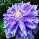 Favorite Bonsai Flower Beautiful Clematis 100 Seeds / pack