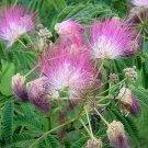 10 Purple Mimosa Tree Seeds Silk Tree Albizia julibrissin