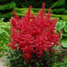 50 Red Astilbe Seeds Bunter Shade Perennial Garden