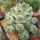 10 Light Green Cactus Seeds Mixed Heat Rare Succulents
