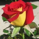 10 Yellow Red Rose Seeds Flower Bush Perennial