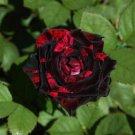 10 Black Red Rose Seeds Flower Bush Perennial