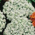 White Alyssum Carpet Flower Sweet Royal 100 seeds/ pack