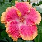 Pink Orange Hibiscus Beauty Garden Decore 20 seeds/ pack
