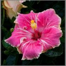 Pink White Hibiscus Beauty Garden Decore 20 seeds/ pack