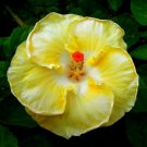 White Yellow Hibiscus Beauty Garden Decore 20 seeds/ pack