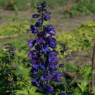 Black Knight Delphinium Mix Seeds Perennial Garden 50 seeds/ pack