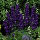 Sydney Purple Delphinium Knight Delphinium Mix Seeds Perennial Garden 50 seeds/ pack