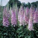 Light Purple Delphinium Knight Delphinium Mix Seeds Perennial Garden 50 seeds/ pack
