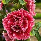 Double Red Hollyhock 25 Seeds Perennial Giant Flower Garden