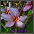 Yolanda Plumeria Cultivars Frangipani Hybrid Indoor Plant 3 Seeds Per Pack
