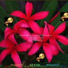 Five Star Best Sell High Germation Plumeria Hybrid Indoor House Plant 5 Seeds Per Pack