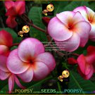 Ruby Ring Best Sell High Germation Plumeria Hybrid Indoor House Plant 5 Seeds Per Pack