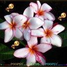 Shared Of Pink Best Sell High Germation Plumeria Hybrid Indoor House Plant 5 Seeds Per Pack