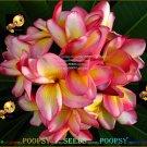 5 seeds Yellow Blush High Germation Plumeria Hybrid Indoor House Plant