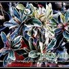 Taj-Mahal Adenium Obesum Desert Rose Ariegated Leaf 5 seeds/ pack