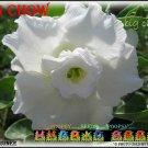 Big Chow Top Trending To Sell Adenium Obesum Desert Rose 5 seeds