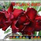 Black BridTop Trending To Sell Adenium Obesum Desert Rose 5 seeds