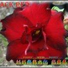 Black Red Top Trending To Sell Adenium Obesum Desert Rose 5 seeds