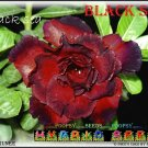 Black Sea Top Trending To Sell Adenium Obesum Desert Rose 5 seeds