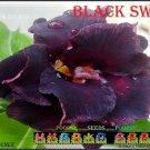 Black Swan Top Trending To Sell Adenium Obesum Desert Rose 5 seeds