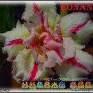 Bonanza Top Trending To Sell Adenium Obesum Desert Rose 3 seeds per pack