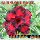 Burning Heart Top Trending To Sell Adenium Obesum Desert Rose 3 seeds