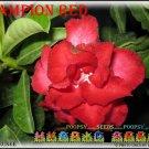 Champion Red Top Trending To Sell Adenium Obesum Desert Rose 5 seeds per pack