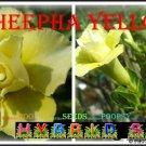 Cheepha Yellow Top Trending To Sell Adenium Obesum Desert Rose 5 seeds