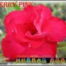 Cherry Pink Top Trending To Sell Adenium Obesum Desert Rose 5 seeds