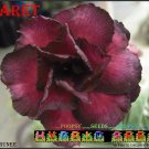 Claret Top Trending To Sell Adenium Obesum Desert Rose 5 seeds per pack
