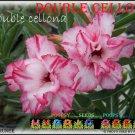 Cellona Trending To Sell Adenium Obesum Desert Rose 5 seeds per pack