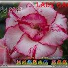Lady Gaga Top Sell Adenium Obesum Desert Rose 5 seeds per pack
