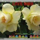 Love Bird Top Sell Adenium Obesum Desert Rose 5 seeds per pack