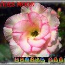 Lovers Moon Top Sell Adenium Obesum Desert Rose 5 seeds per pack
