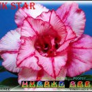 Pink Star Top Sell Adenium Obesum Desert Rose 5 seeds per pack