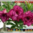 Poppy Violet Top Sell Adenium Obesum Desert Rose 5 seeds per pack