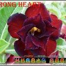 Strong Heart Top Sell Adenium Obesum Desert Rose 5 seeds per pack