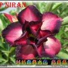 Sup Niran Top Sell Adenium Obesum Desert Rose 5 seeds per pack