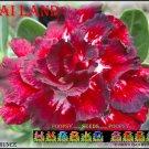 Thai Land Top Sell Adenium Obesum Desert Rose 5 seeds per pack
