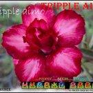 Triple Aimo Top Sell Adenium Obesum Desert Rose 5 seeds per pack