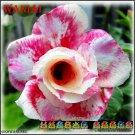 Waniai Top Sell Adenium Obesum Desert Rose 5 seeds per pack