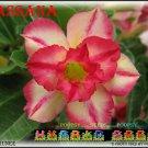 Wassana Top Sell Adenium Obesum Desert Rose 5 seeds per pack