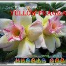 Yellow Fragrant Top Sell Adenium Obesum Desert Rose 5 seeds per pack