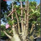 Black Dragon Plant Bonsai Adenium Arabicum Desert Rose 5 Seeds Per Pack