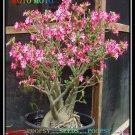 Moto Moto Plant Bonsai Adenium Arabicum Desert Rose 2 Seeds Per Pack